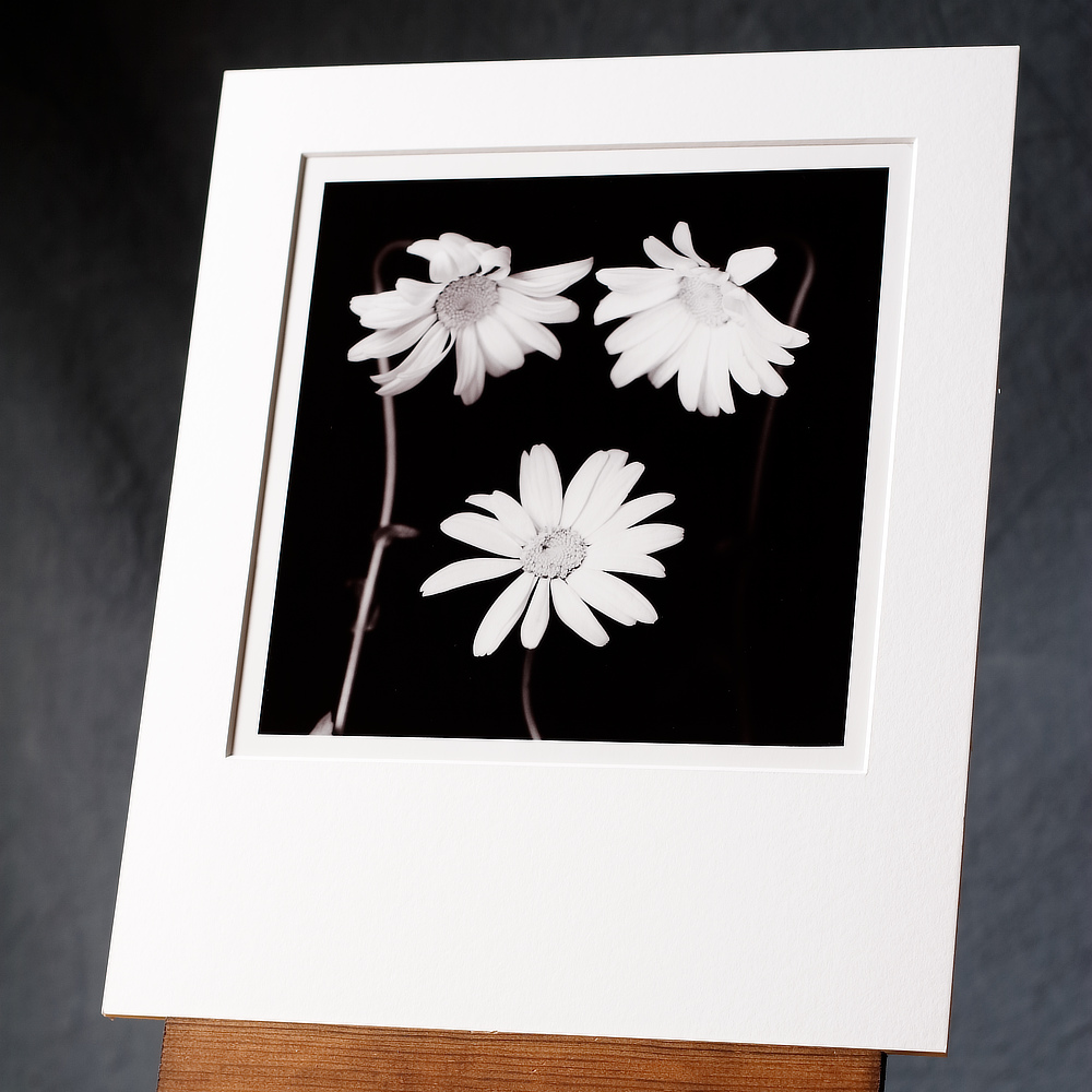 A black and white photograph of 3 large daisy flowers grouped in front of a dark