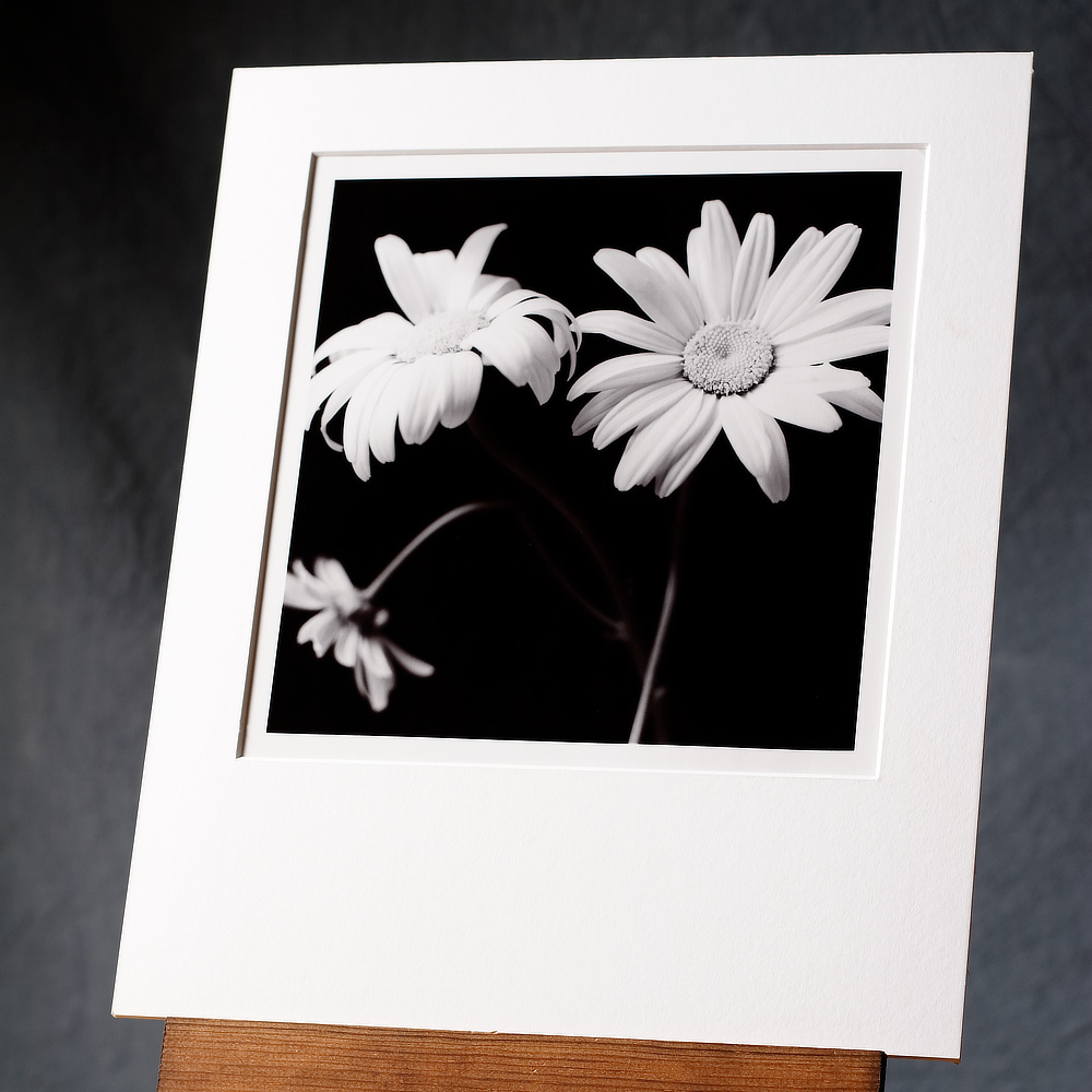 Black white photograph of a group of 3 arranged flowering daisies printed by hand