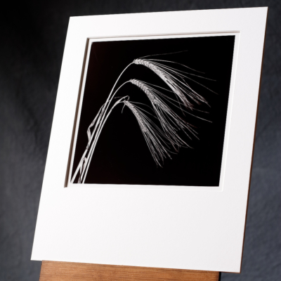B/w Silver Gelatin Print Of 3 Barley Stalks In A Swooping Arrangement, Printed By Hand In Our Photographic Darkroom.