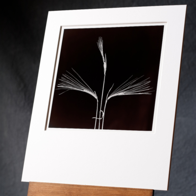 Printed By Hand, An Original B&w Photo Of 3 Barley Stalks In A Symmetrical Arrangement.