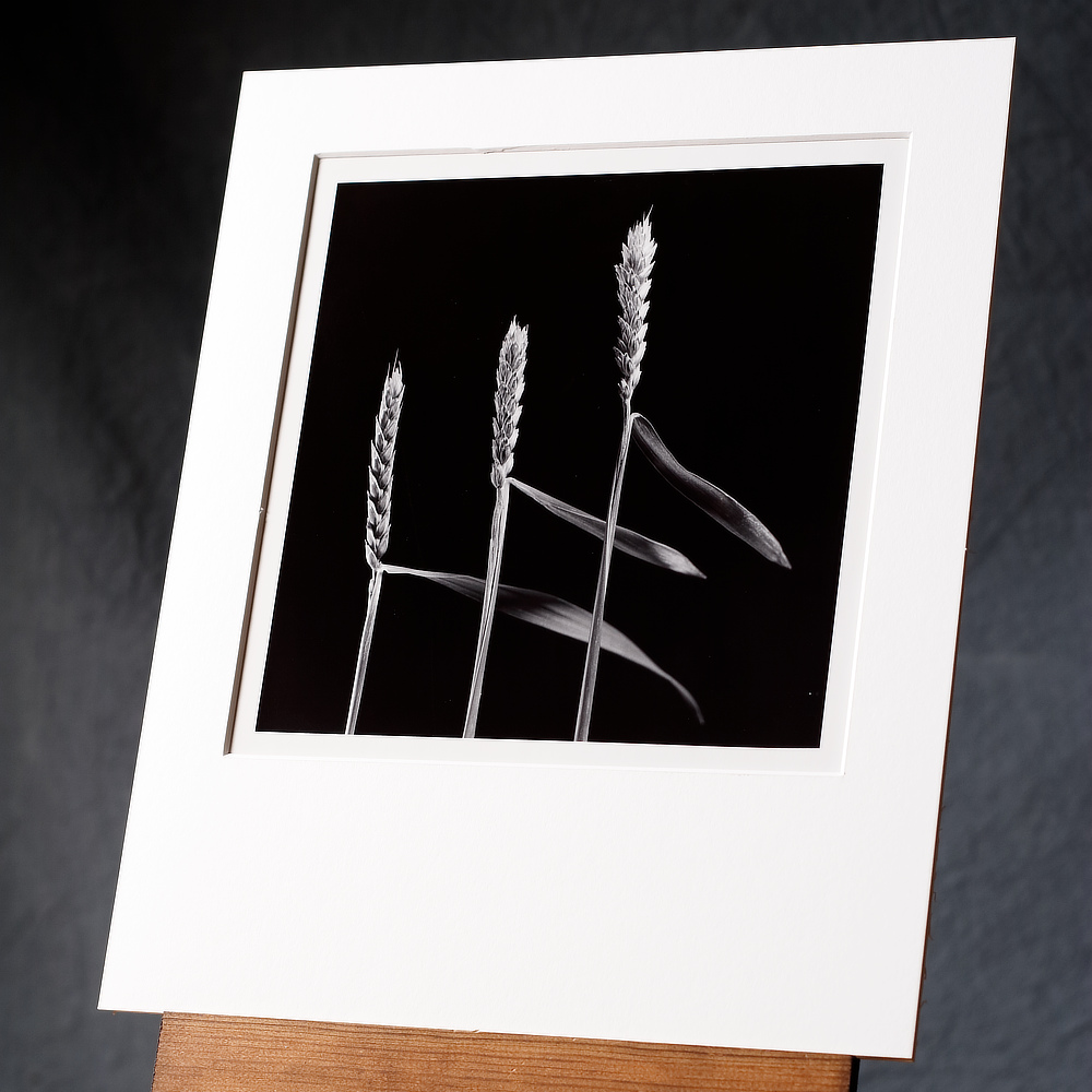 A Hand Printed B/w Silver Gelatin Print Of Three Ripe Wheat Stalks Arranged To Match Each Other, Standing In Front Of A Contrasting Black Backdrop.