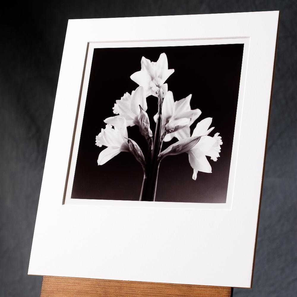 Daffodil Group #2