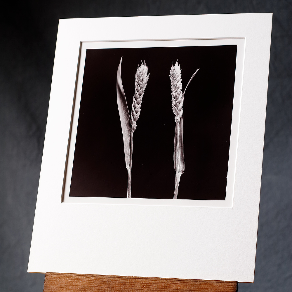 Black And White Photo Of Two Stalks Of Wheat Facing Each Other, Printed By Hand.