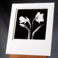 A Black And White Silver Gelatin Print A Group Of Four Daffodil Flowers, Arranged In A Standing Circle Showing Different Stages Of Flowering.