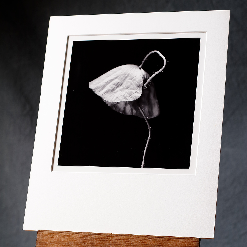 Black & White Silver Gelatin Print Of A Single Poppy Flower, Printed By Hand Then Given A Selenium Tone.
