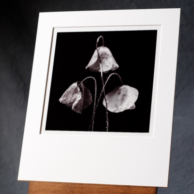 A Black And White Photo Print Of Three Arranged Poppies Against A Dark Background; Our Photograph Hand Printed By Us On A Silver Gelatin Paper From A Film Negative.